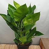 콩고(대품) 잎이넓어 음이온이 많이 나와요(새로입고) 