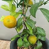 레몬나무(중품) 신종 (열매가 맺어 있어요) 