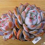오렌지먼로|Echeveria Monroe(Orange)