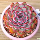모란|Echeveria cv Beniothine