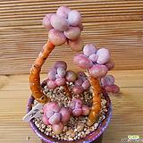 묵은목대 아메치스 7두자연군생|Graptopetalum amethystinum
