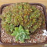 깨알샤치철화|Echeveria agavoides f.cristata Echeveria