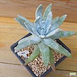 목대 화리노사|Dudleya farinosa Bluff Lettuce