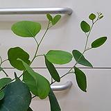 [진아플라워] 하트잎 유칼립투스 폴리안 149|