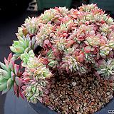 블렛블루아나 철화 12-559 Echeveria bradburiana