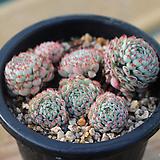 글로블로사 158|Echeveria globulosa