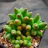 천대전송금무지 1214-913|Pachyphytum compactum