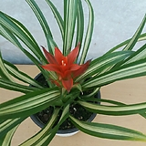 로얄체리/구즈마니아/공기정화식물|