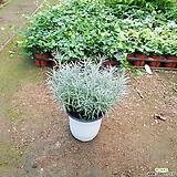 커리플랜트(공기정화식물,허브) Hub