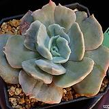 릴리시나금 1058|Echeveria lilacina