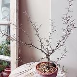 마오리 코로키아 실버  빈티지플랜트 토분세트(그레이톤의 목대와 그린의 조화 아름다운목대)|