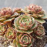 환엽롱기시마자연군생55-목대굵어요-|Echeveria longissima