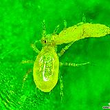 싱싱응자바-응애벌레용 친환경 유기농 살충제 
