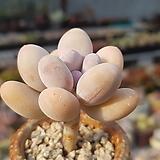 홍미인묵은둥이|Pachyphytum ovefeum cv. momobijin