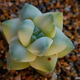 육각기천금(귀한종) 562|Crassula cv Moonglow