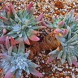 화이트그리니묵은목대군생18두 579|Dudleya White gnoma(White greenii / White sprite)