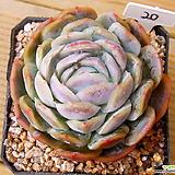 포토시나|Echeveria elegans Potosina