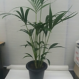 겐자야자/귀하고귀한야자/탁월한공기정화식물/높이125센치/사진그대로|