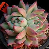 야생콜로라타 558 자연군생한몸|Echeveria colorata