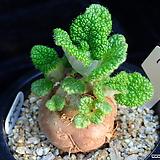 단애의여왕(빨강꽃) 104|Rechsteineria leucotricha