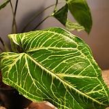 싱고니움포도폴리움(글로고)수입식물 