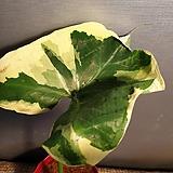 산토소마 (중품) 수입식물 