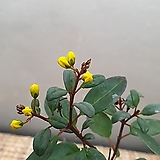 긴꾸따루(10센치) 노오란꽃이 피는아이에요(계절상 꽃이 없을수 잏어요) 