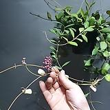 호야마니당 마니당 수입호야 수입식물 공룡꽃식물원 60|Hoya carnosa