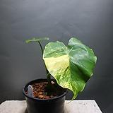 무늬알로카시아 알로카시아 수입식물 공룡꽃식물원|Alocasia