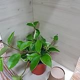 풍성한 호야 넝쿨식물 실내식물|Hoya carnosa