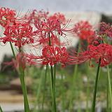 꽃무릇(석산) 
