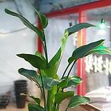 극락조 삼식이 관엽식물 공룡꽃식물원 25|