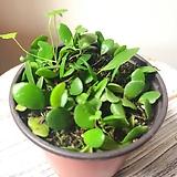 제주 콩짜개난(작고 귀여운 잎이 귀욤) 