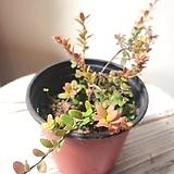 크랜베리 나무(꽃같은 색의 잎장) 