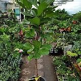 떡갈고무나무(외목대) 대품(잎이 넓어 미세먼지최고에요) Ficus elastica