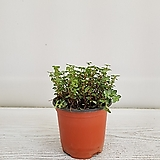 타라/공기정화식물/온누리 꽃농원 
