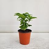 커피나무/공기정화식물/온누리 꽃농원 