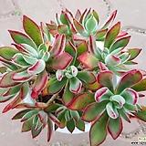 부용합식 Echeveria Pulv-oliver