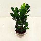 금전수 #1 Zamioculcas zamiifolia