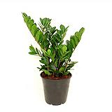 금전수 #3 Zamioculcas zamiifolia