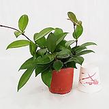 꽃향기호야 Hoya carnosa