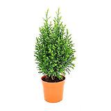 스노우화이트 (편백나무과) 