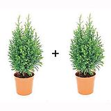 스노우화이트 1+1 (편백나무과) 