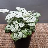 스노우박(소품) 잎이눈오는것처럼 흰색인 아이에요 