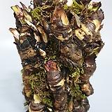 돌단풍 야생화 공기정화식물|