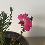 초연초(분홍)|