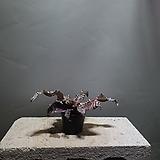 브로멜리아드조나투스 소품 수입식물 공룡꽃식물원 40|