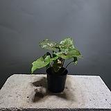 브론즈싱고니움 싱고니움 싱고늄 수입식물 공룡꽃식물원 50|
