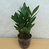 금전수/돈나무/공기정화식물|
