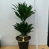 콤펙타/공기정화식물/높이60센치|